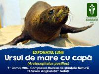 """""""Ursul de mare cu capă"""" – exponatul lunii mai la Complexul Muzeal de Ştiinţele Naturii"""