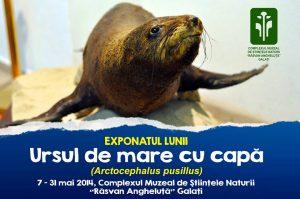 """""""Ursul de mare cu capă"""" - exponatul lunii mai la Complexul Muzeal de Ştiinţele Naturii"""