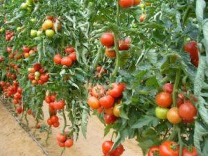 in-timp-ce-pietele-noastre-sunt-pline-de-rosii-cu-gust-de-plastic-legumele-noastre-sunt-exportate-169691