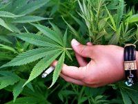 """VIDEO: Plantație de cannabis la Slobozia Conachi. """"Agricultorul"""" a ajuns în arest la domiciliu"""