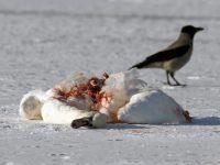 A fost confirmat și al doilea caz de gripă aviară la Ivești