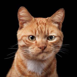 Arca lui Noe. Pisicile - o influență calmantă asupra persoanelor cu tensiunea arterială crescută