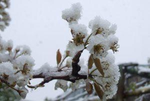 Dezastre cu repetiție în județul Galați. Pe 22/23 aprilie 2009, a fost un ger de minus 3 grade care a distrus 15.000 ha de culturi