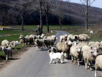 Măcel pe șosea, la Fârțănești. Un șofer beat a intrat cu mașina într-o turmă, ucigând un cioban și 25 de oi