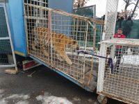 Doi tigri siberieni de la Circul Globus au fost aduși la Zoo Gârboavele
